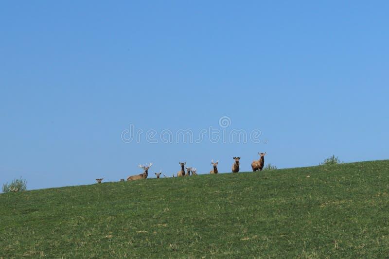 Una manada de los ciervos que pastan en la primavera en un prado verde Animales salvajes en cautiverio Protección de la naturalez fotos de archivo
