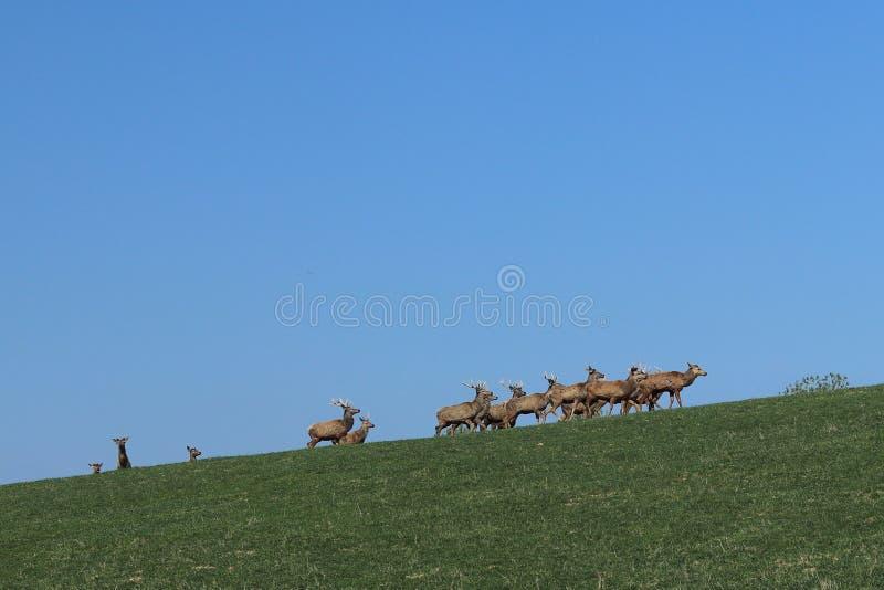 Una manada de los ciervos que pastan en la primavera en un prado verde Animales salvajes en cautiverio Protección de la naturalez foto de archivo libre de regalías