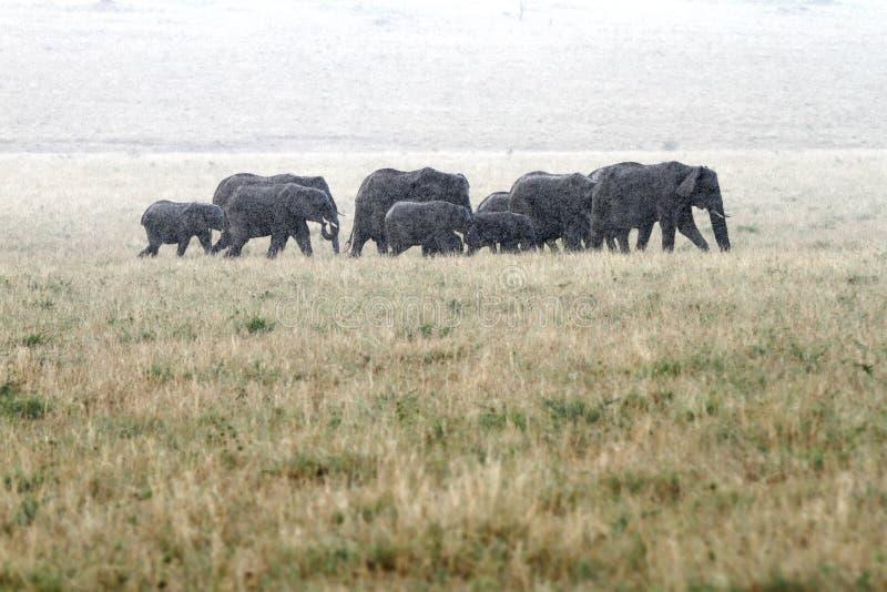 Una manada de los elefantes africanos que se mueven en lluvia fotos de archivo