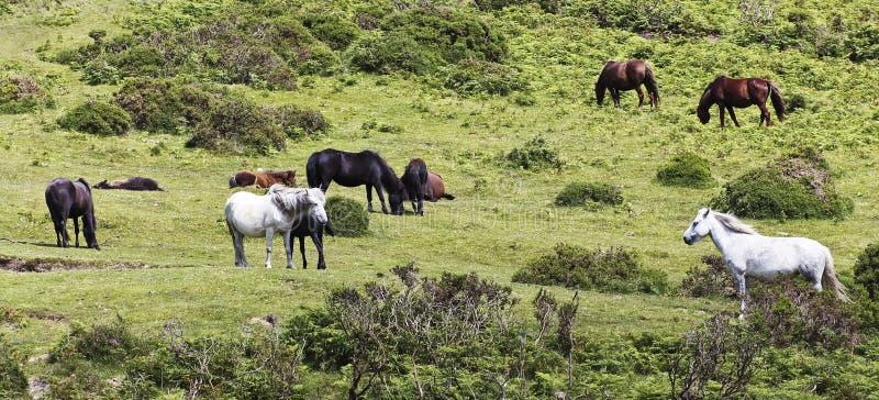 Una manada de los potros de Dartmoor, Devon, Inglaterra foto de archivo libre de regalías
