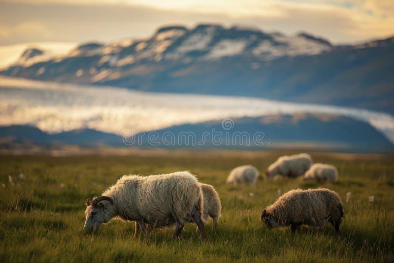 Una manada de ovejas en un campo y del glaciar de Vatnajokull en el fondo, verano de Islandia fotografía de archivo libre de regalías