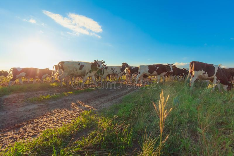 Una manada de vacas en el sol de la tarde del verano imagen de archivo libre de regalías