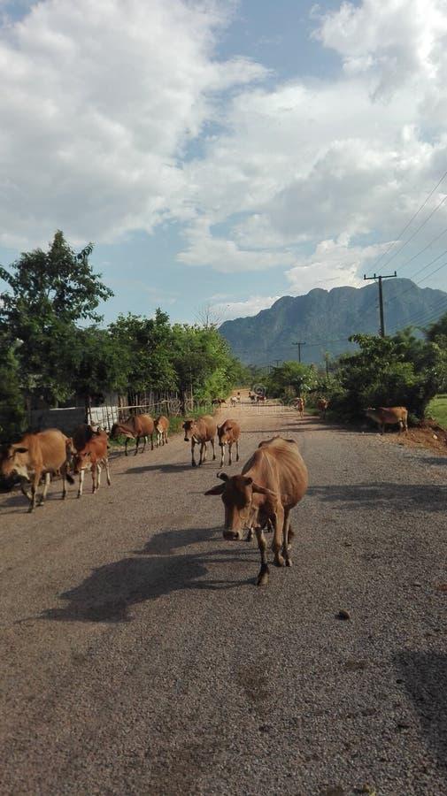 Una manada de vacas en un camino foto de archivo libre de regalías