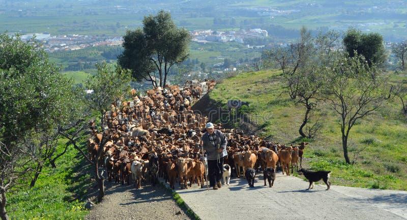 Una manada de varios cientos de cabras que son llevadas para alimentar en pasto fresco más arriba en las colinas por el cabrero y imagen de archivo libre de regalías