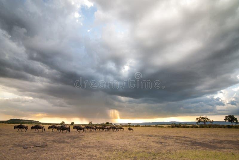 Una manada del ñu en los llanos debajo de una nube de tormenta con un rayo de la luz que viene a través de las nubes fotografía de archivo