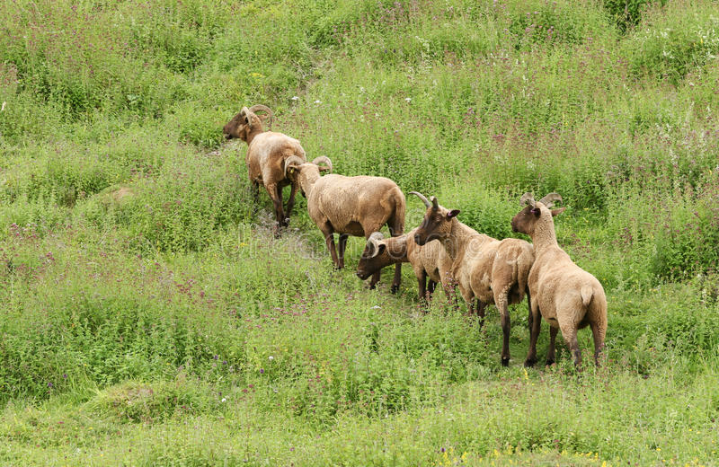Una manada del aries de la Isla de Man del Ovis de las ovejas de Loaghtan de la raza rara que pastaba en una hierba cubrió la lad imagen de archivo
