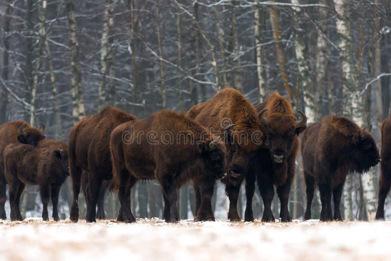 Una manada del aurochs que se coloca en el campo del invierno vario bisonte marrón grande en el fondo del bosque Algunos toros co imagen de archivo