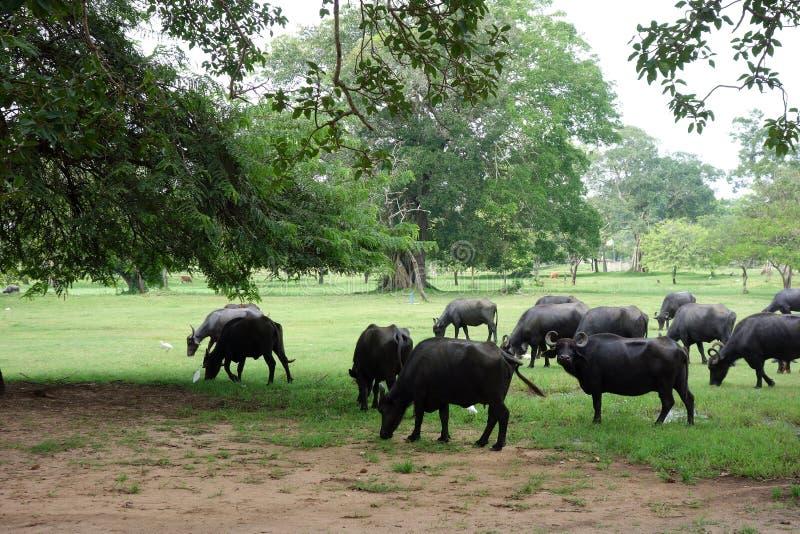 Una manada del búfalo que pasta en Anuradhapura imagen de archivo