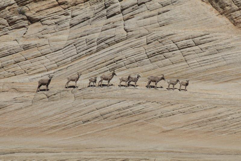Una manada del carnero con grandes cuernos fotos de archivo