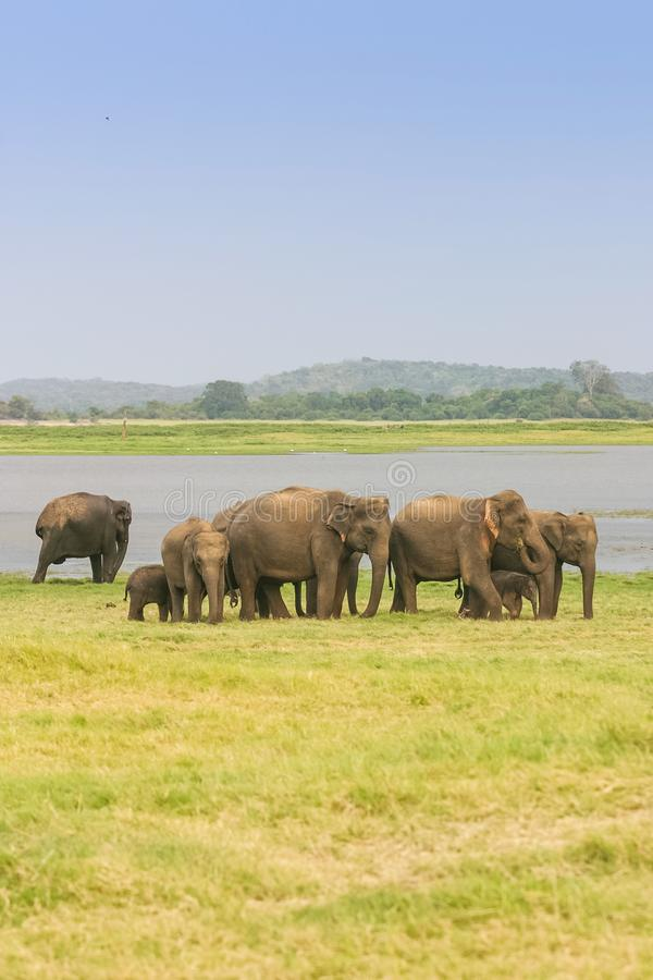Una manada del elefante srilanqués imagenes de archivo
