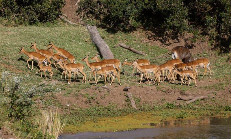 Una manada del impala en un riverbank imagen de archivo libre de regalías