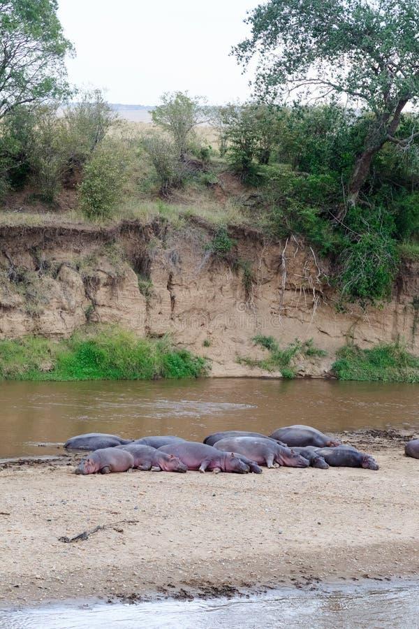 Una manada grande de hipopótamos en el banco de Mara River Kenia, África fotos de archivo