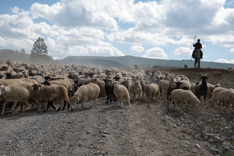 Una manada grande de ovejas y de cabras va con el pastor en el ro fotografía de archivo