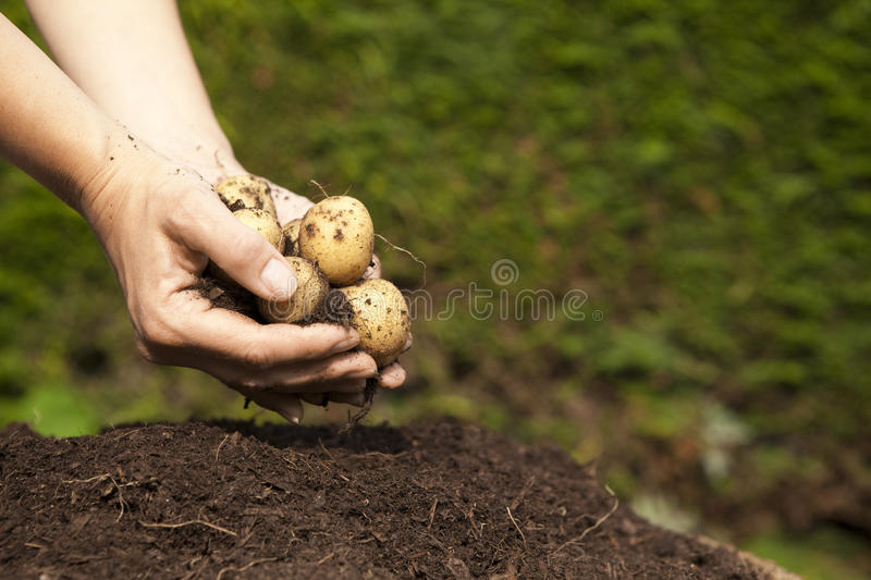 Una manciata di patate homegrown immagine stock