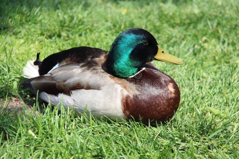 Una manera fácil del pato silvestre masculino de vida imagen de archivo libre de regalías