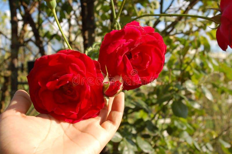 Una mano che tiene due grandi rose rosse immagine stock