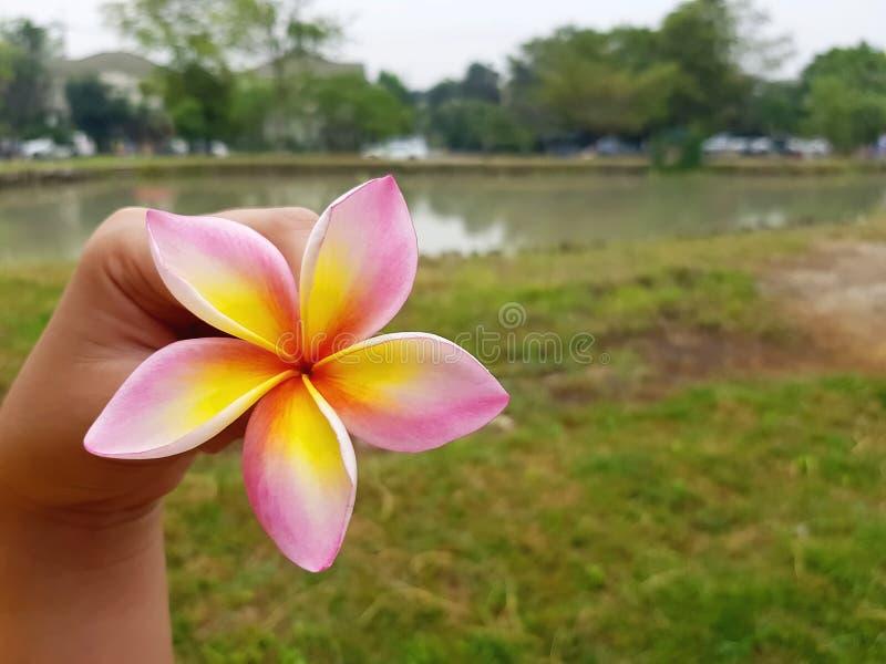 Una mano che tiene il fiore rosa giallo del frangipane immagine stock libera da diritti