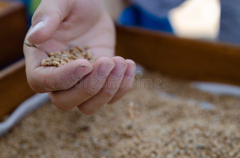 Una mano de un muchacho por completo de las semillas del trigo fotografía de archivo libre de regalías