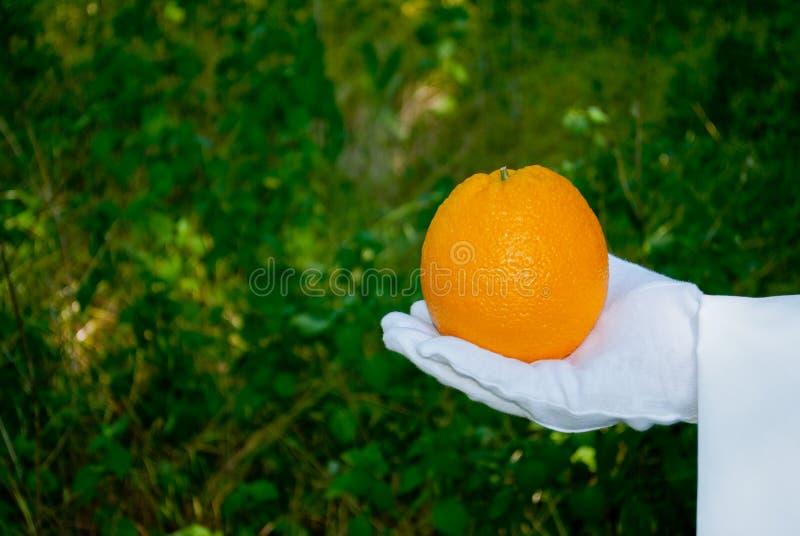 Una mano del ` s del cameriere in un guanto bianco tiene un'arancia contro un fondo del cespuglio immagini stock libere da diritti