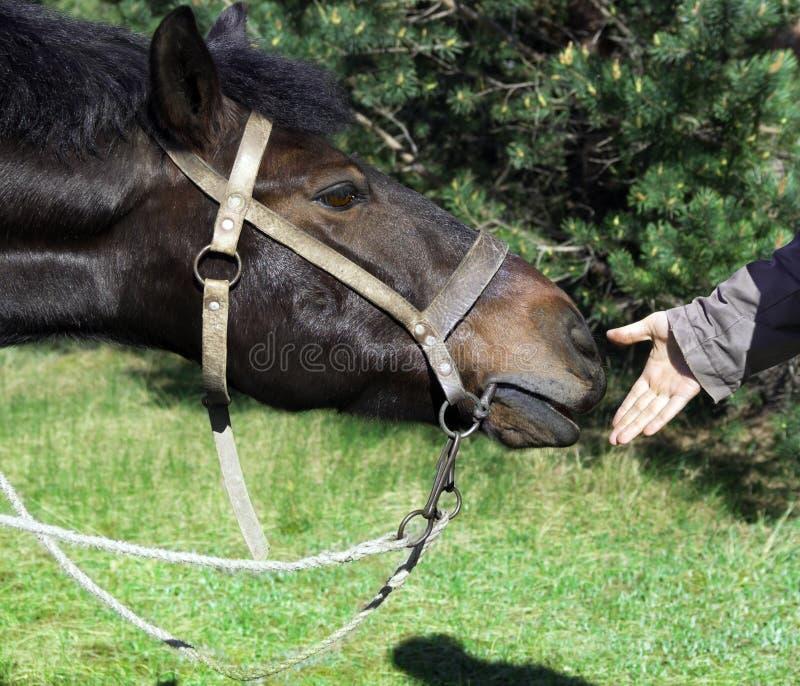 Una mano del ` s del hombre da su mano a los nudos aprovechados caballo del nudo del ` s del caballo imagen de archivo