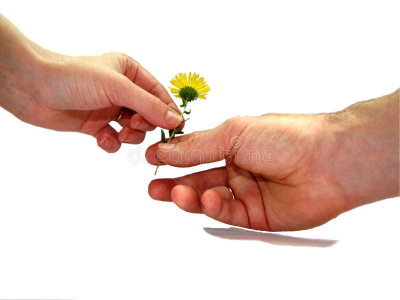Una mano passa l'altro fiore Oggetto su un fondo bianco fotografia stock