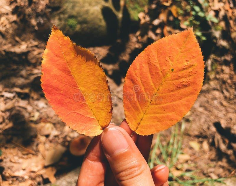 Una mano que sostiene el olmo anaranjado seco dos se va imágenes de archivo libres de regalías