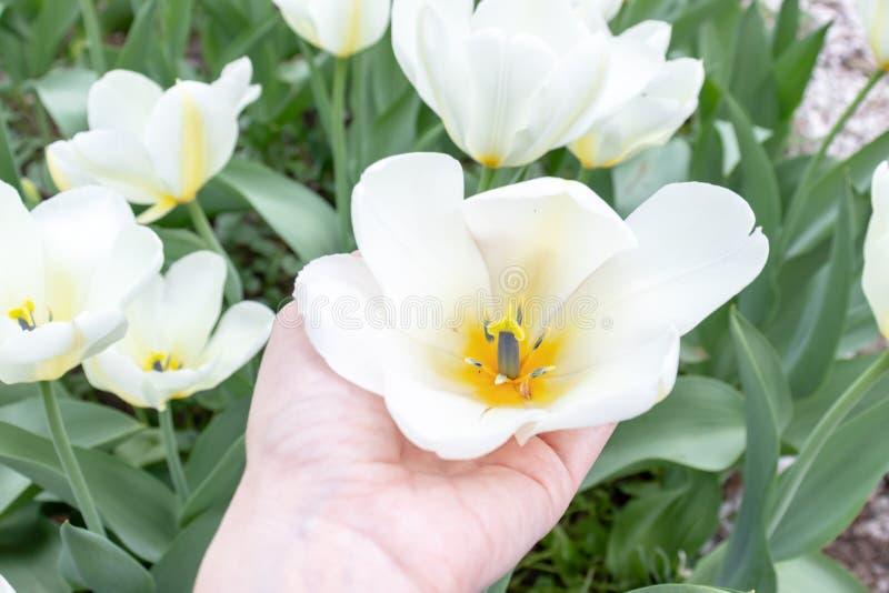 Una mano que sostiene la flor blanca del tulipán en jardín de la primavera imágenes de archivo libres de regalías