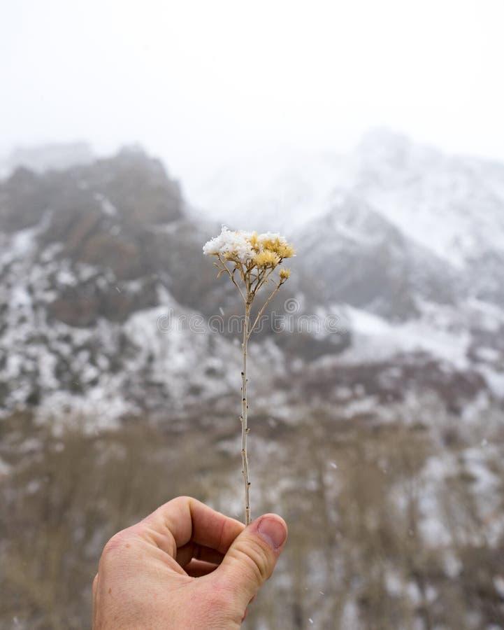 Una mano tiene un bello ramoscello innevato di erba contro uno sfondo bianco e nero fotografia stock