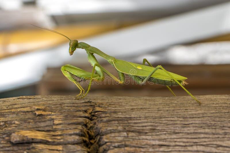 Una mantis religiosa en un árbol imagen de archivo