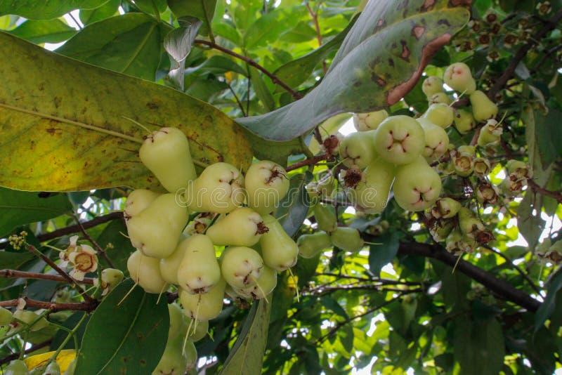 Una manzana del agua madura en las ramas de un árbol fotos de archivo libres de regalías