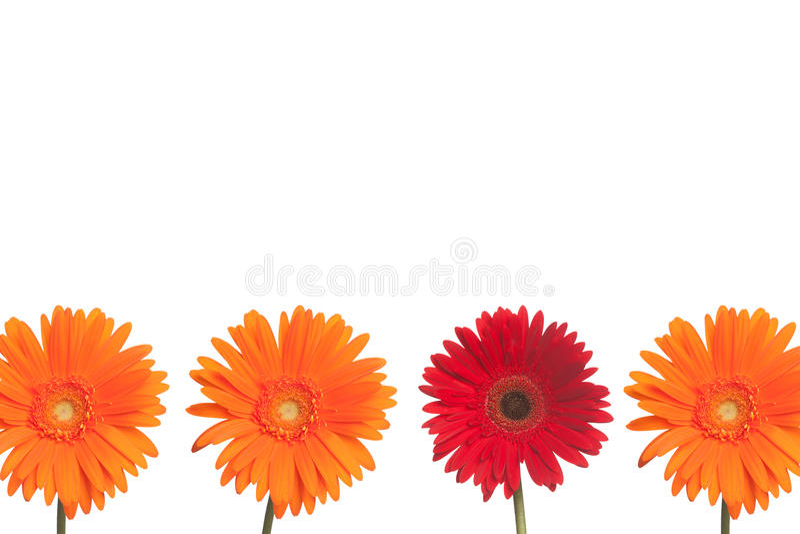 Destaqúese la margarita: Naranja y rojo fotografía de archivo