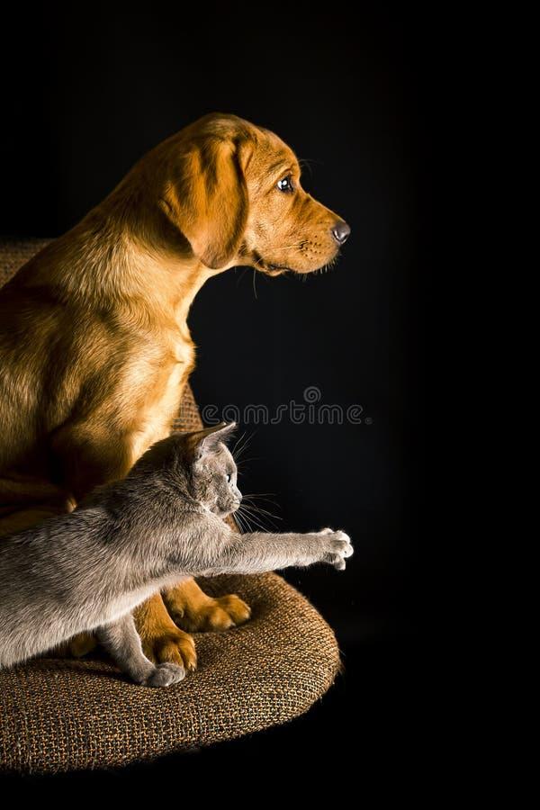 Una marionetta di fox labrador rosso e un gattino di burma giocano sulla sedia marrone su fondo nero fotografia stock