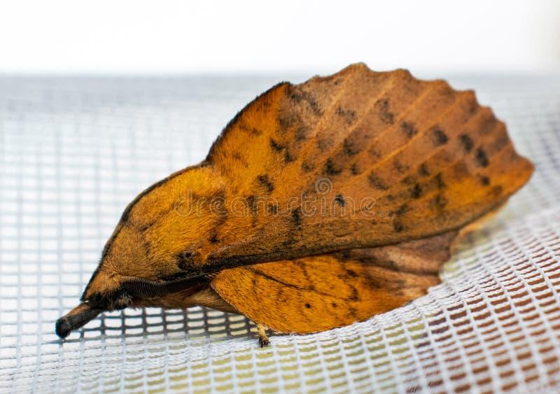 Una mariposa agradable de la noche con una mirada extraña polilla Su cuerpo se asemeja a una hoja foto de archivo libre de regalías