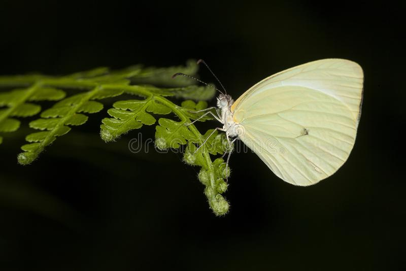 Una mariposa amarilla fotografiada en la Argentina fotografía de archivo
