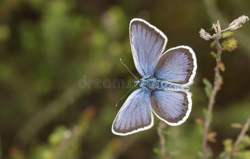 Una mariposa azul Plata-tachonada varón imponente Plebejus argus que se encarama en brezo con sus alas se abre fotografía de archivo libre de regalías