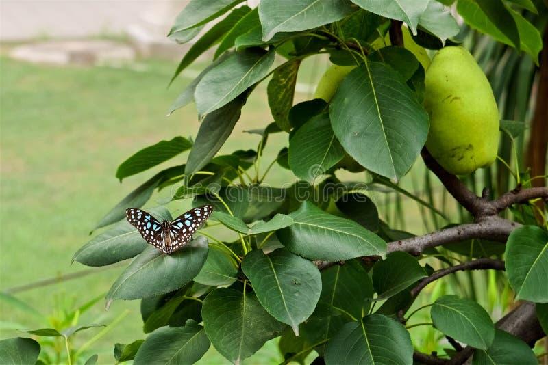 Una mariposa azul y blanca de los puntos se sienta en las hojas imagen de archivo