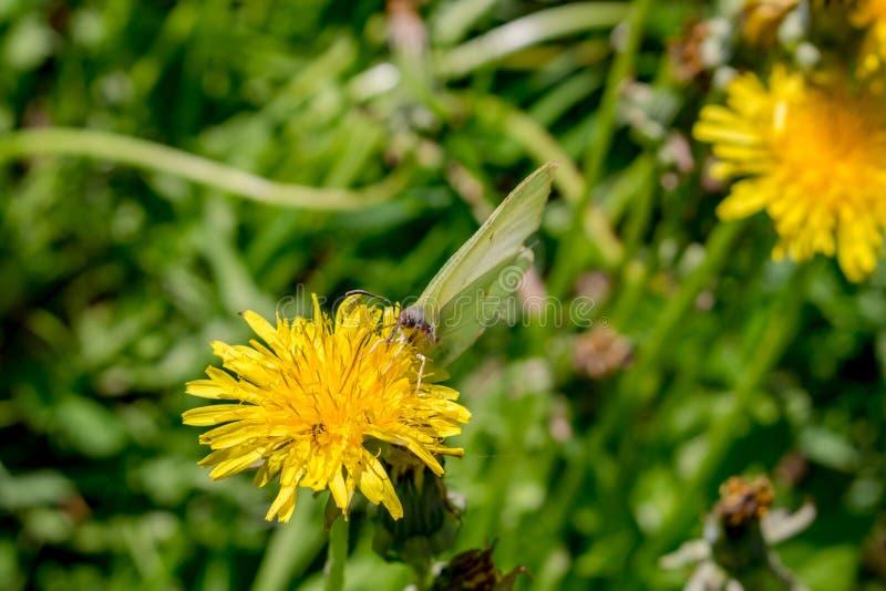 Una mariposa blanca come sentarse en una flor amarilla del diente de león imagenes de archivo