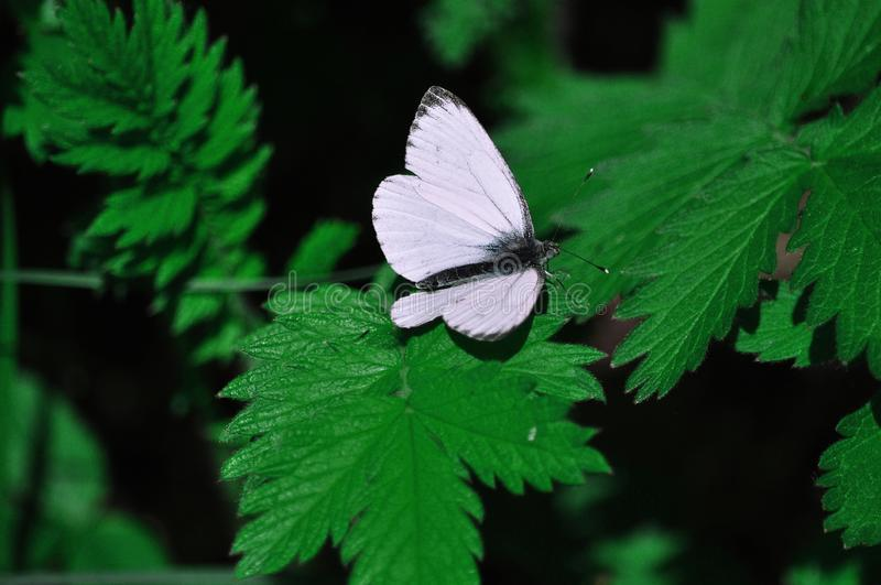 Una mariposa blanca frágil hermosa se sienta en una hoja verde de una planta en el verano imagenes de archivo