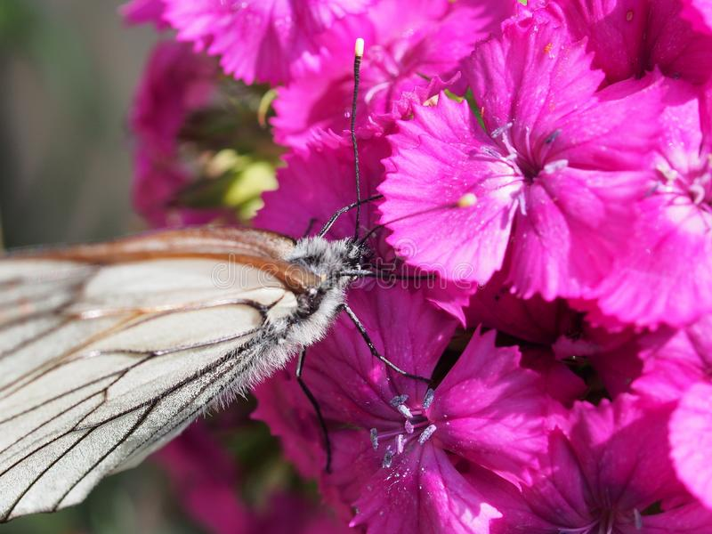 Una mariposa blanca grande recoge el néctar de las flores rojas imagen de archivo