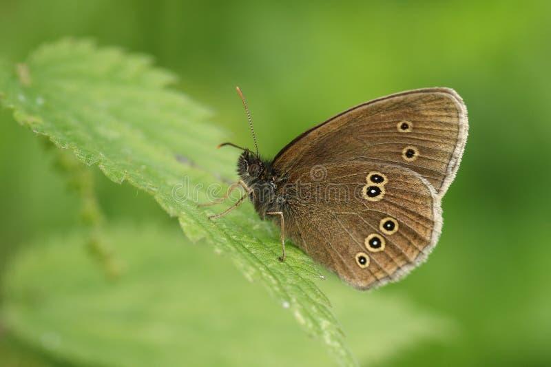 Una mariposa bonita del rizo, hyperantus de Aphantopus, encaramándose en una hoja de la ortiga tacaña foto de archivo