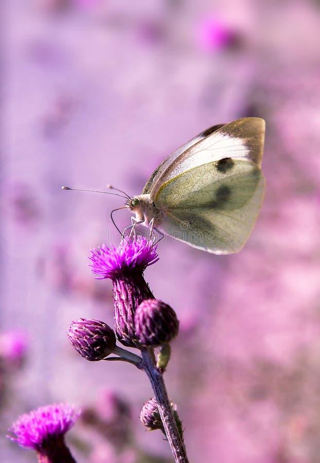 Una mariposa colorida se está colocando en un pedazo de lavanda imagenes de archivo
