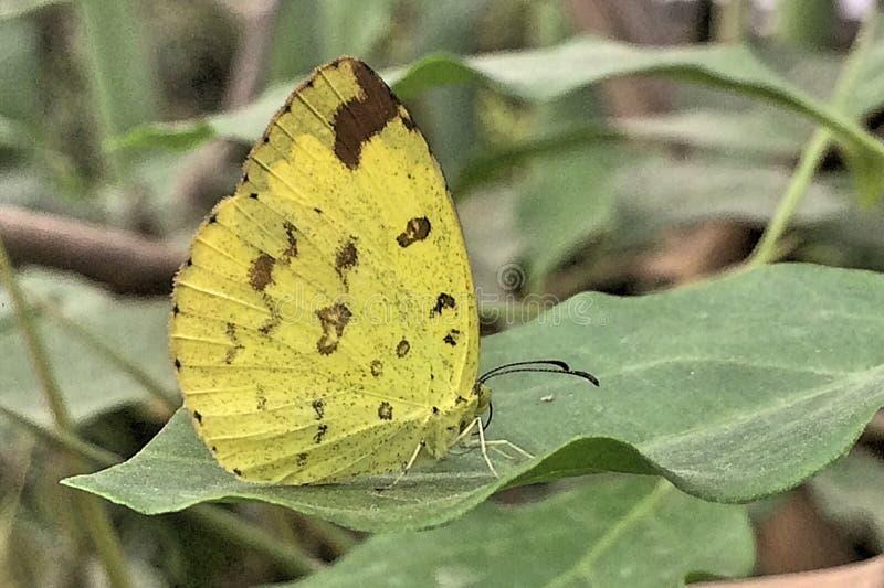 Una mariposa de azufre imágenes de archivo libres de regalías