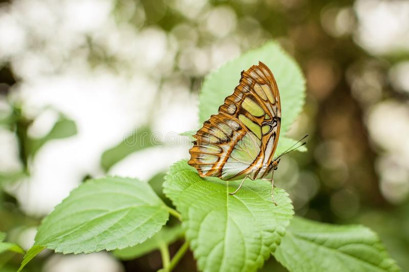 Una mariposa de la malaquita que se coloca en una hoja verde foto de archivo libre de regalías