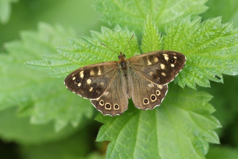 Una mariposa de madera manchada hermosa, aegeria de Pararge, abriendo sus alas encaramadas en una hoja de la ortiga tacaña imagen de archivo