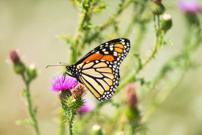 Una mariposa de monarca alimenta en el néctar del cardo fotos de archivo libres de regalías