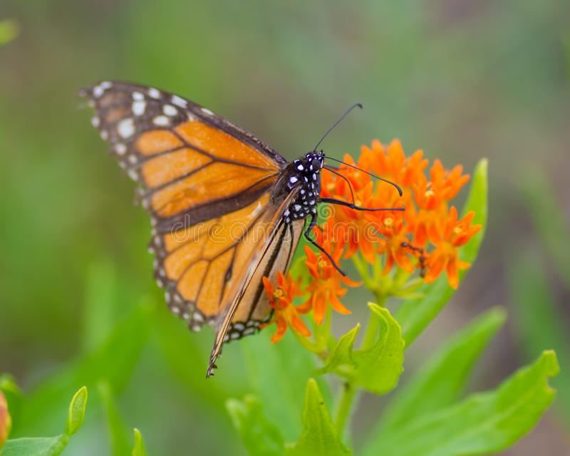 Una mariposa de monarca en wildflowers anaranjados hermosos en el área de la fauna de los prados del Crex en Wisconsin septentrio fotografía de archivo libre de regalías