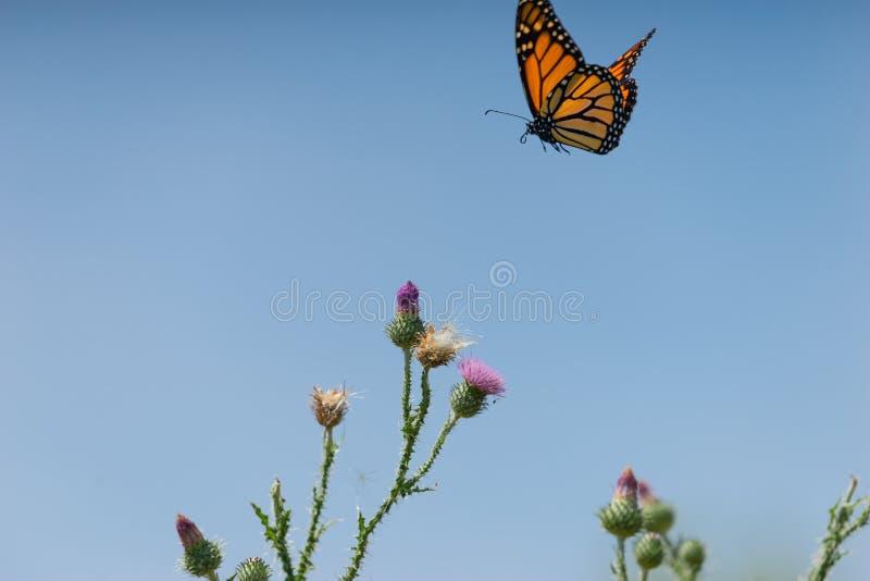 Una mariposa de monarca vuela sobre una planta del cardo foto de archivo