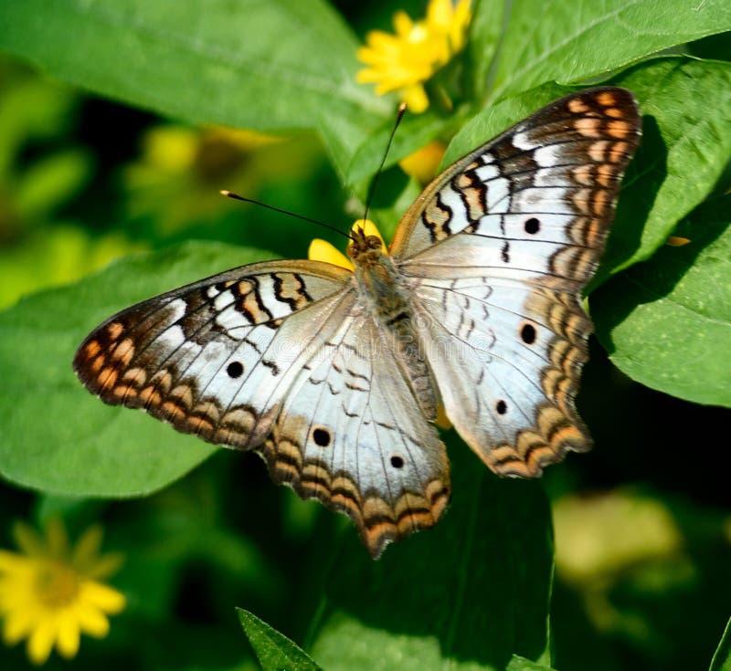 Una mariposa de pavo real blanca imagen de archivo libre de regalías