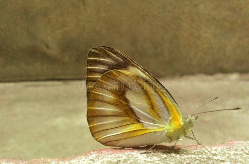 Una mariposa hermosa imagenes de archivo