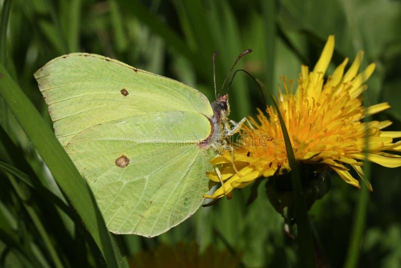 Una mariposa imponente del azufre, rhamni de Gonepteryx nectaring en una flor amarilla del diente de león fotos de archivo